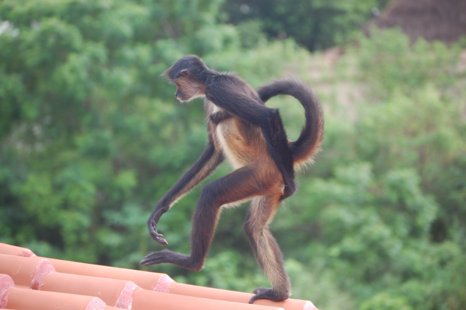 New Danger:  Flying Monkeys in Mexico
