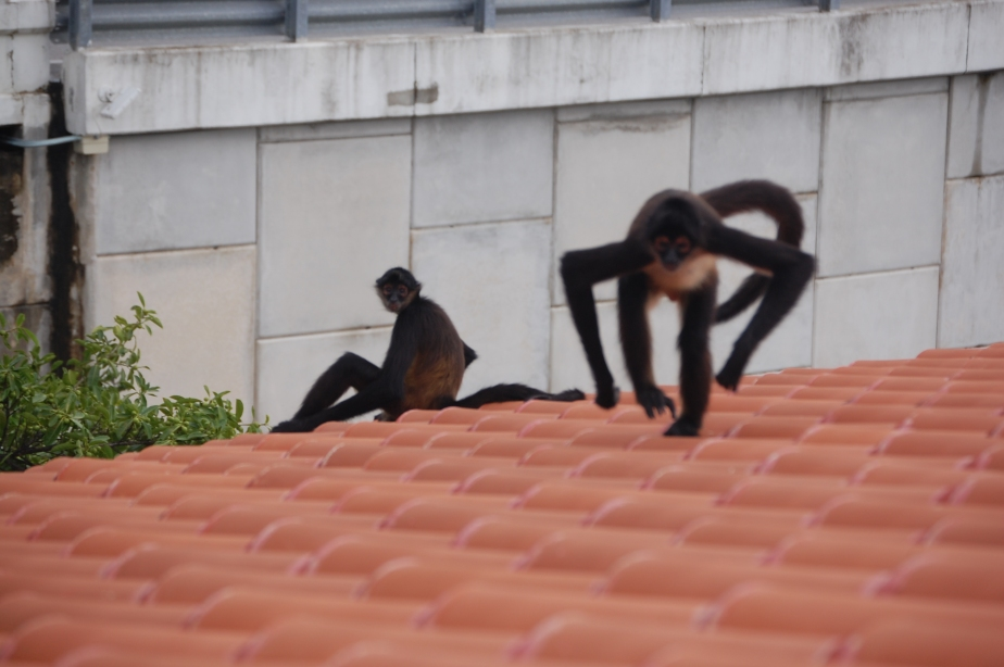 Now I know why they call them spider monkeys.  Look at this...